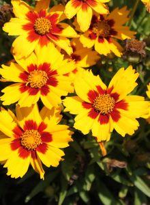 Großblumiges Mädchenauge 'Sonnenkind'