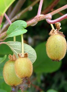 Strahlengriffelgewächse (Actinidiaceae)