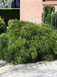 Grüne Zwergfadenzypresse 'Filifera Nana'