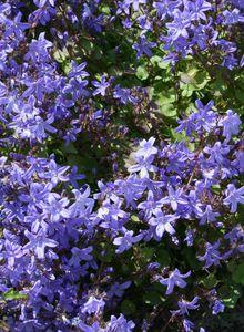 Glockenblumengewächse (Campanulaceae)
