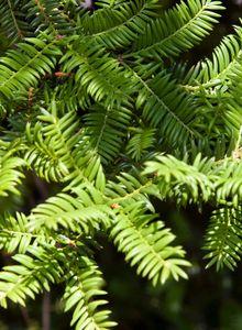 Kopfeibengewächse (Cephalotaxaceae)