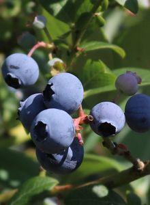 Heidelbeere 'Earlyblue Frühreifend'