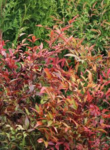 Heavenly Bamboo (Nandina)