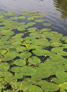 Heimische Große Teichrose