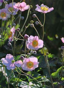 Herbst-Anemone 'Pink Saucer'