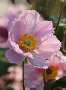 Herbst-Anemone 'Serenade'