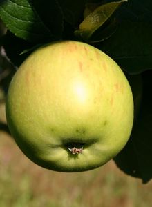 Herbstapfel 'Jakob Lebel'
