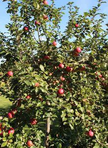 Äpfel (Malus)