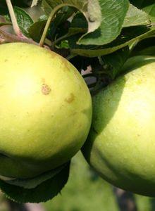 Herbstapfel 'Seestermüher Zitronenapfel'