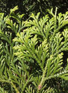 Hiba-Lebensbäume (Thujopsis)