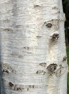 Birkengewächse (Betulaceae)