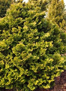 Zypressengewächse (Cupressaceae)