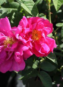 Historische Rose 'Gallica Officinalis'