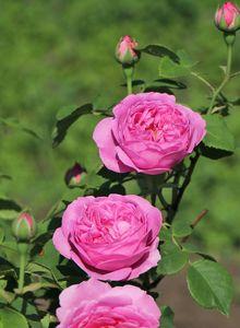 Historische Rose 'Louise Odier'