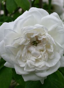 Historische Rose 'Mme Hardy'
