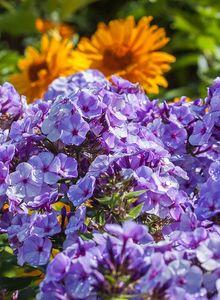 Hohe Garten Flammenblume 'Jeff's Blue'