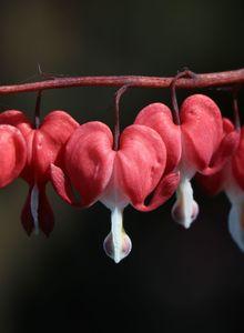 Herzblumen (Dicentra)