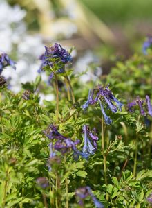 Lerchensporne (Corydalis)