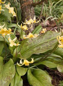 Zahnlilien (Erythronium)