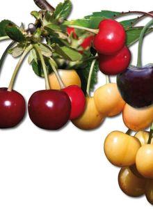 Familienbaum Kirsche '3 verschiedene Sorten'