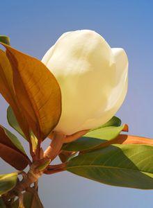 Immergrüne Magnolie 'Galissoniere'