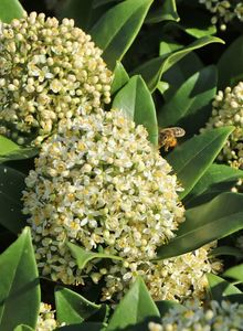 Japanische Blütenskimmie 'Fragrant Cloud'