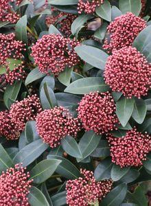 Rautengewächse (Rutaceae)