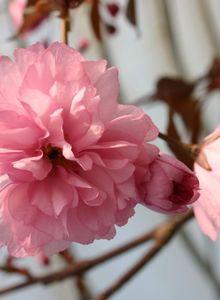 Japanische Nelkenkirsche 'Royal Burgundy' ®
