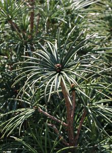 Schirmtannengewächse (Sciadopityaceae)