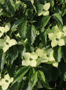 Japanischer Blumen-Hartriegel 'Angyo Dwarf'