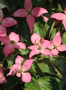 Japanischer Blumen-Hartriegel 'Beni Fuji'