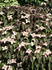 Japanischer Blumen-Hartriegel 'Cappuccino'