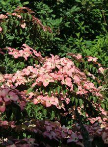 Japanischer Blumen-Hartriegel 'Satomi'