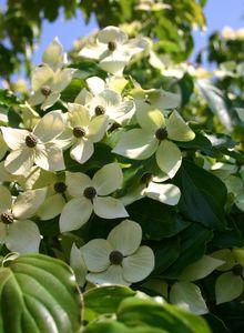 Chinesischer Blumen-Hartriegel 'Teutonia'