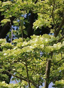 Hartriegelgewächse (Cornaceae)