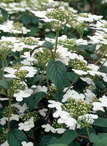 Japanischer Schneeball 'Summer Snowflake'