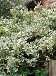 Spindelbaumartige (Celastrales)