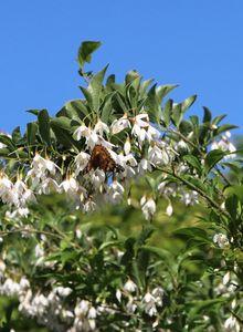 Storaxbaumgewächse (Styracaceae)