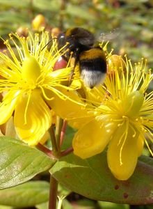 Johanniskrautgewächse (Hypericaceae)