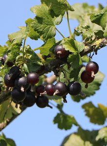 Johannisbeeren (Ribes)