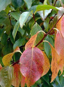 Ebenholzbäume (Diospyros)