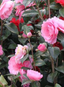 Kamelien (Camellia)