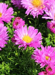 Kissen-Aster 'Heinz Richard'