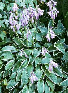 Spargelgewächse (Asparagaceae)