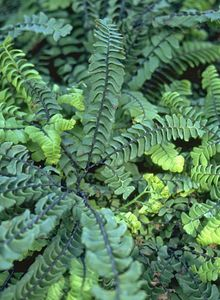 Saumfarngewächse (Pteridaceae)