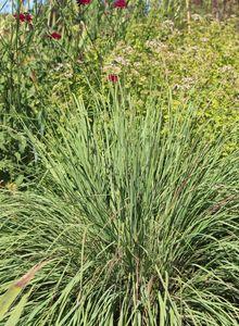 Schizachyrium (Schizachyrium)