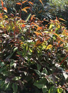 Knöteriche (Persicaria)