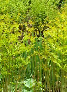 Königsfarngewächse (Osmundaceae)