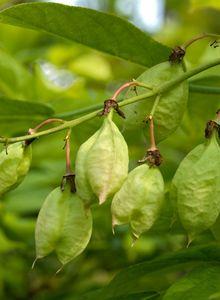 Pimpernüsse (Staphylea)