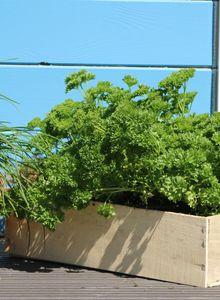 Petersilie (Petroselinum)